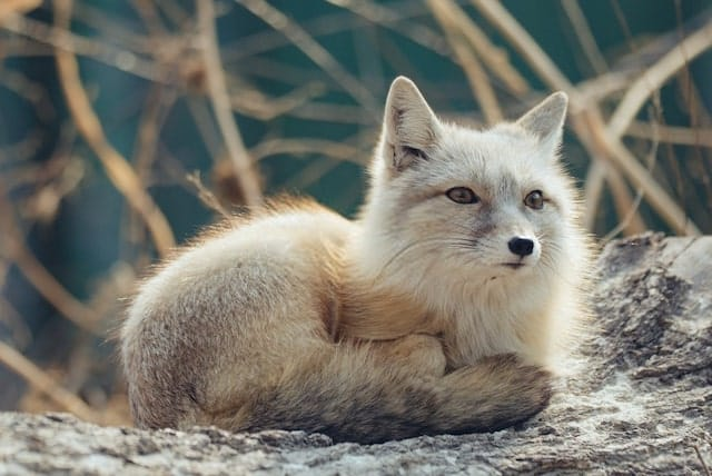 Artic Fox Changes its Fur to Brown in the Summer