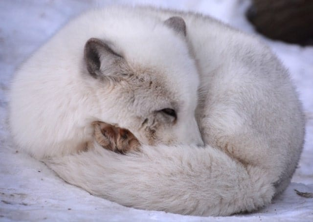 Artic Fox Sleeping