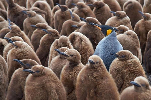 King Penguin in the Middle of Fully Grown Chicks