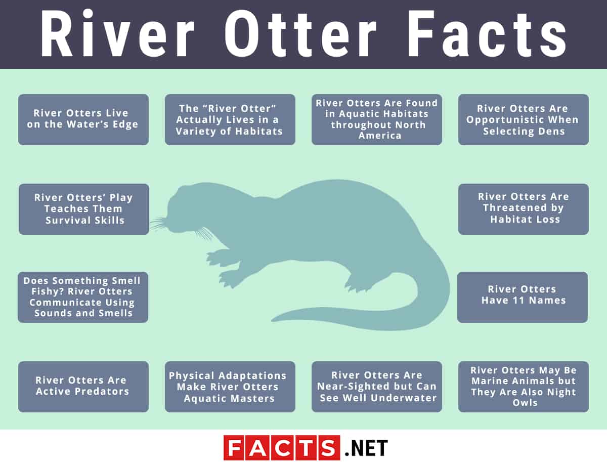 River Otter facts infographics