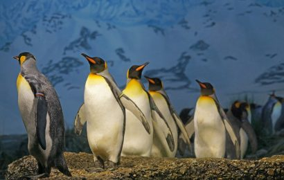 king-penguin-facts