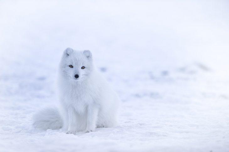 arctic fox facts