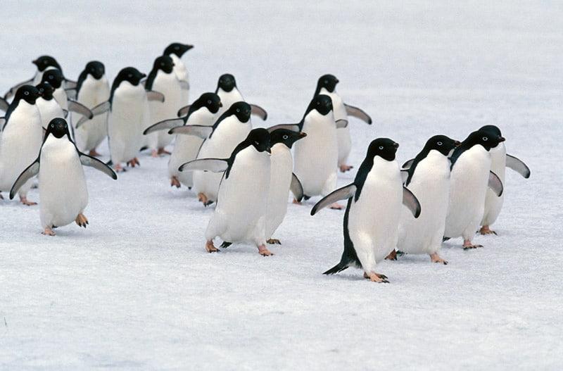 Macaroni Penguins Migrating