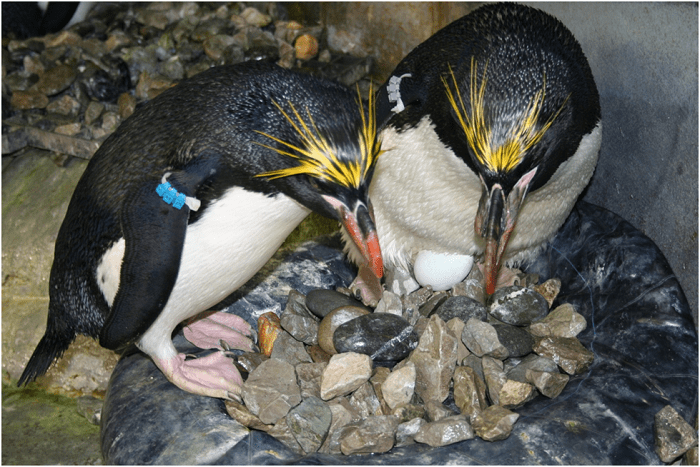 Macaroni Penguins Simple Nest