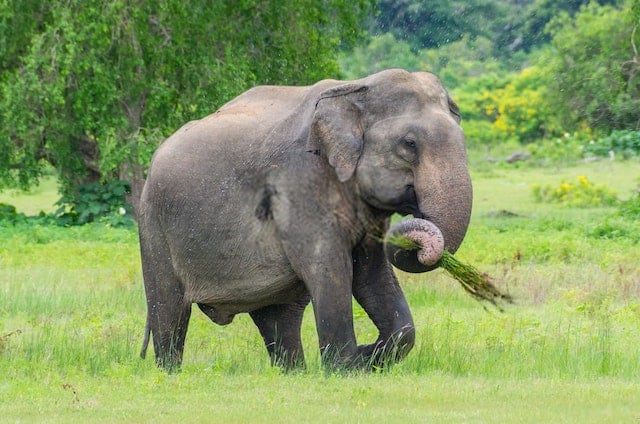 Elephant Using its Trunk to Eat