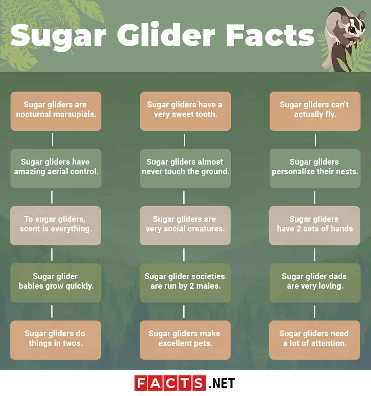 Sugar Glider Facts Infographics