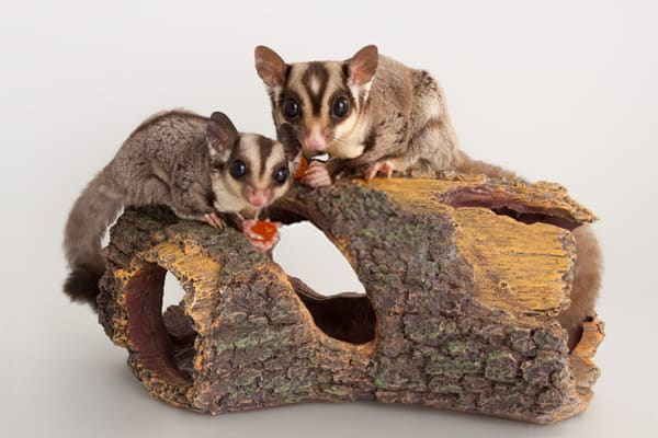 Sugar Glider Do Things Together