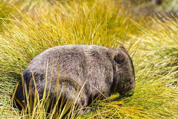 Wild Wombat Shot