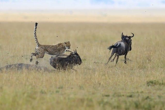 Cheetah Hunting Its Prey