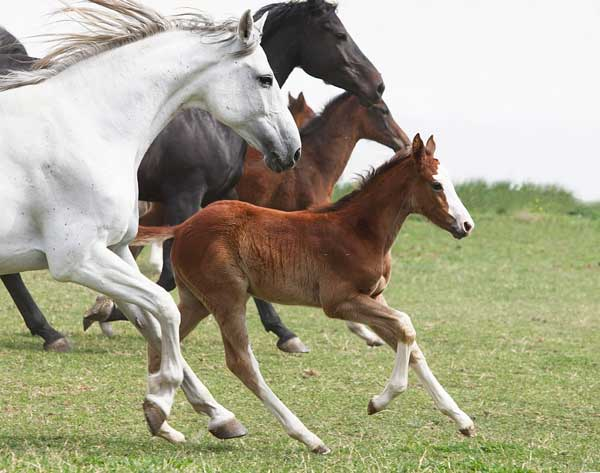 Foal Galloping with Other Horses
