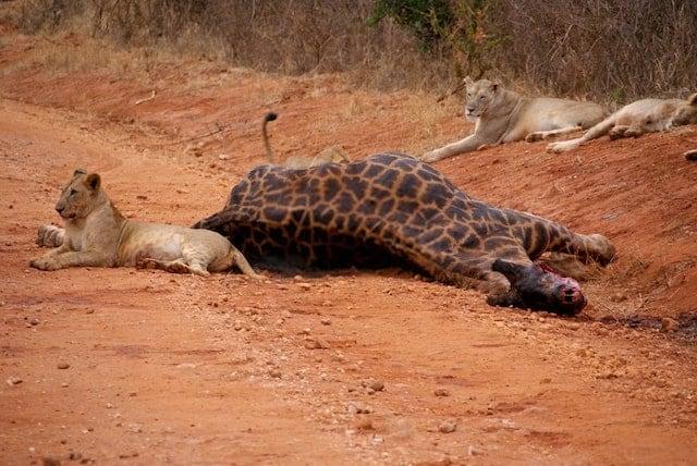 Giraffe Killed by Lions