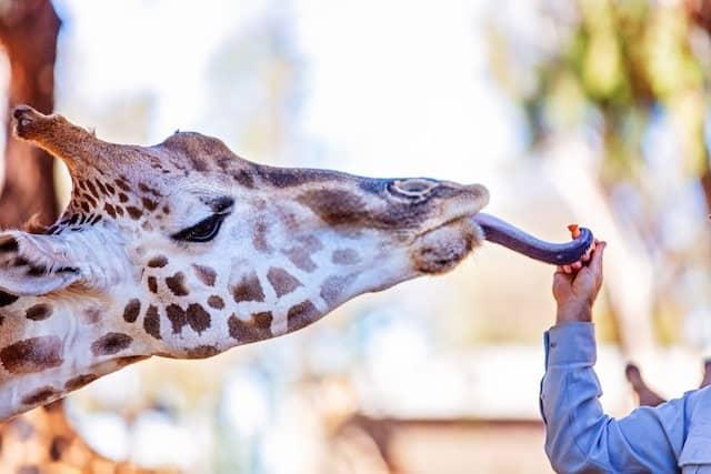 Giraffe Using Its Tongue to Grab Food