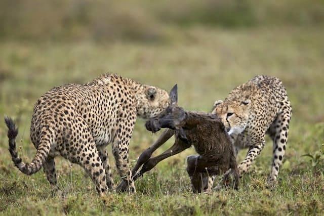 Two Cheetahs Killing A Newborn Blue Wildebeest