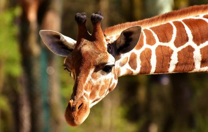 giraffe-facts