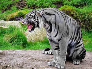 Rare Grey Tiger