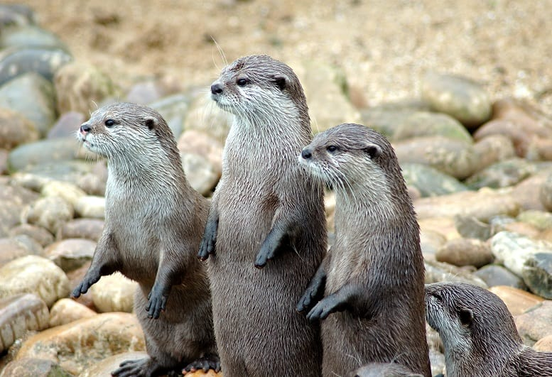 Asian Small Clawed Otters on Land
