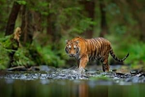 Tiger's Natural Habitat