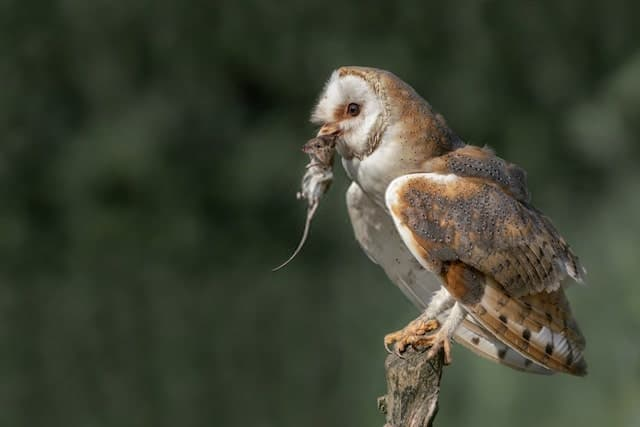 Barn Owl Capturing His Prey