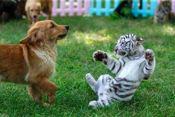 White Tiger Cub Scared