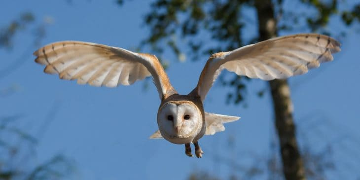 barn-owl-facts