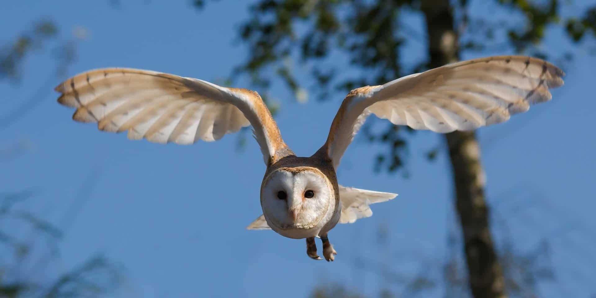 barn-owl-facts