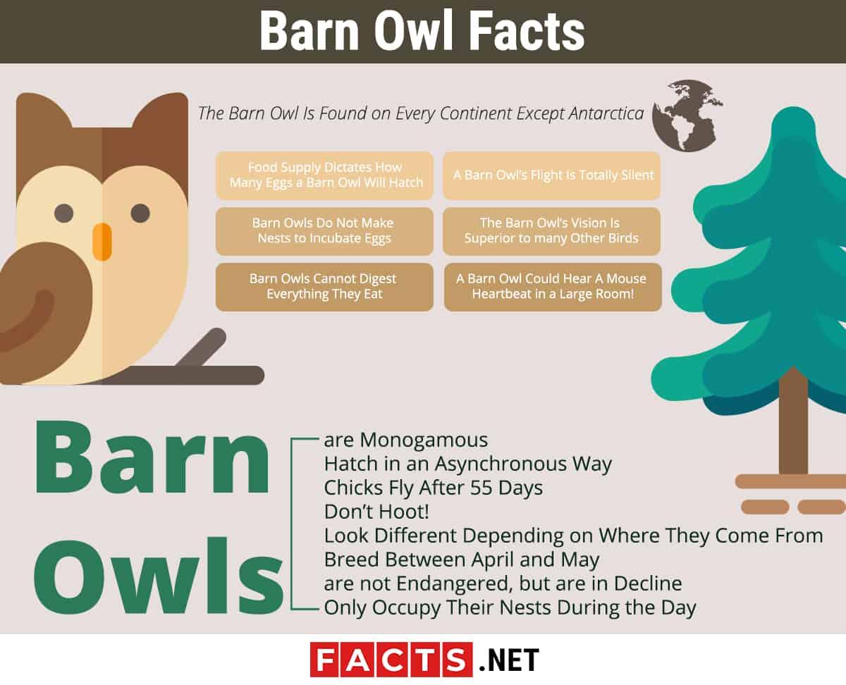 barn owl infographics