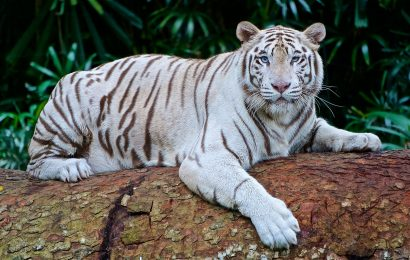 white-tiger-facts