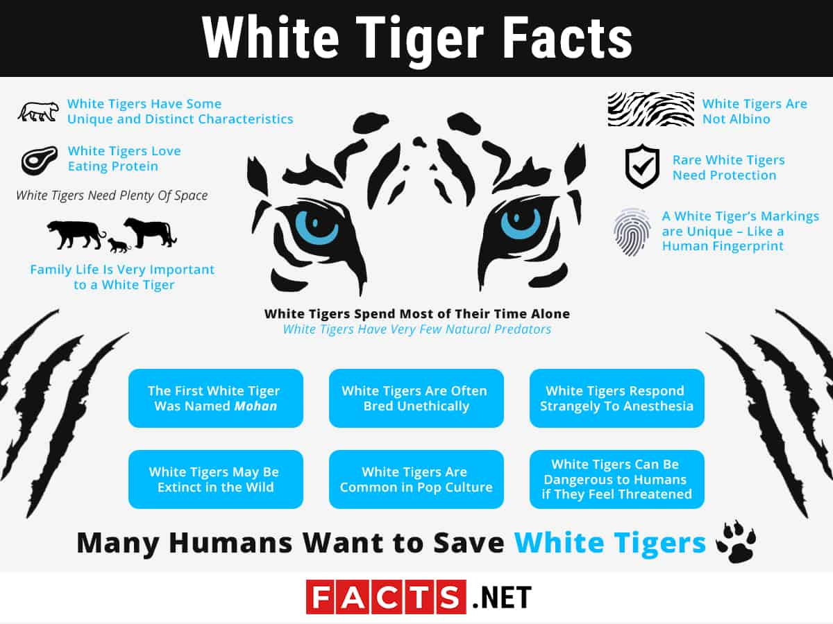 white tiger facts infographics