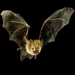 Bat-Facts