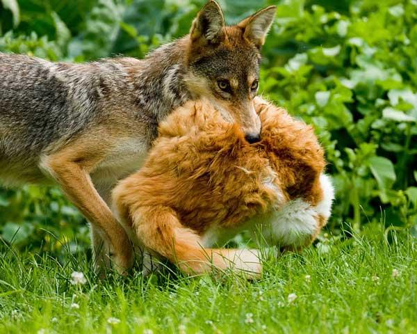 Coyote Kills