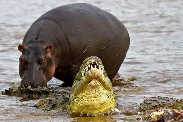 Hippopotamus Preying on Crocodiles