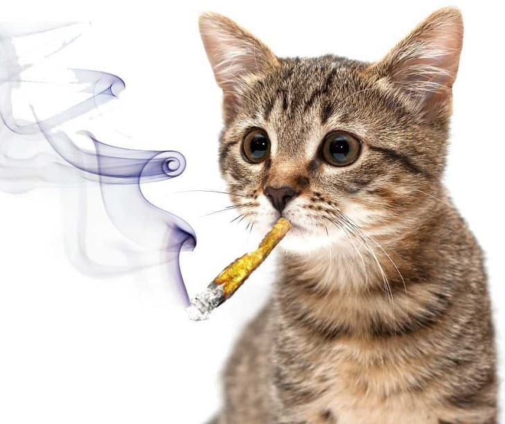Pot Smoking Cat