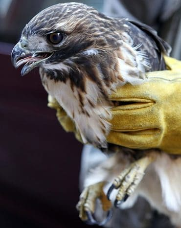 Red Tailed Hawk Eyes