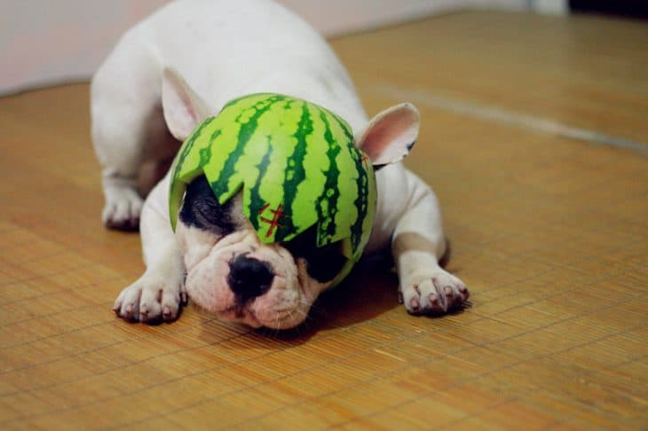 Watermelon Is a Safe Treat for Dog