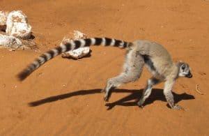 Lemurs Tail is Longer than Its Body