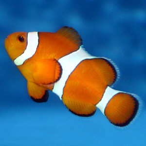 Top 17 clown fish facts diet habitat types for Clown fish habitat