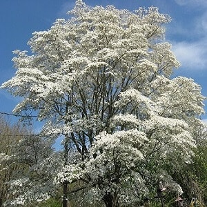 dogwood tree facts