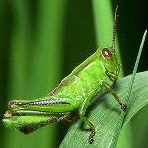 Grasshopper Facts