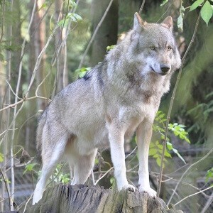 gray-wolf-facts