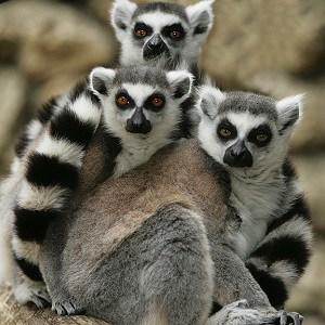 Lemur Facts