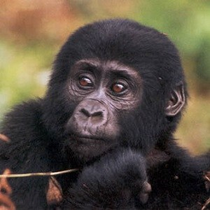 Mountain Gorilla Facts