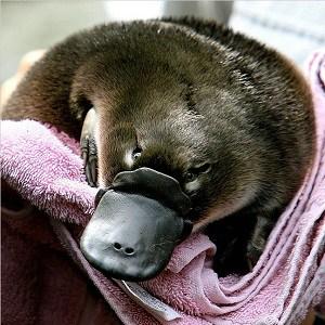 platypus-facts