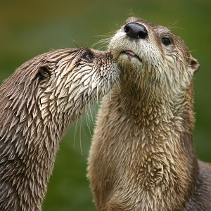 River Otter Facts