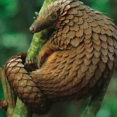 Curled up pangolin