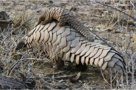 A family of Pangolins