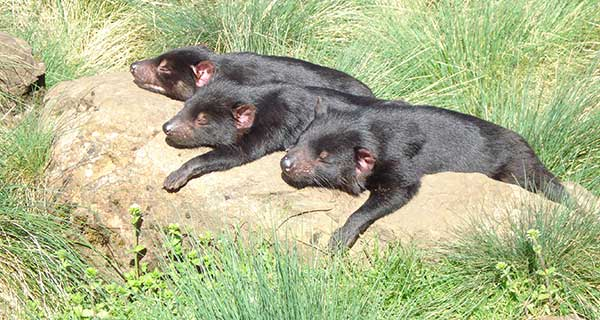 Tasmanian Devil cubs lounging