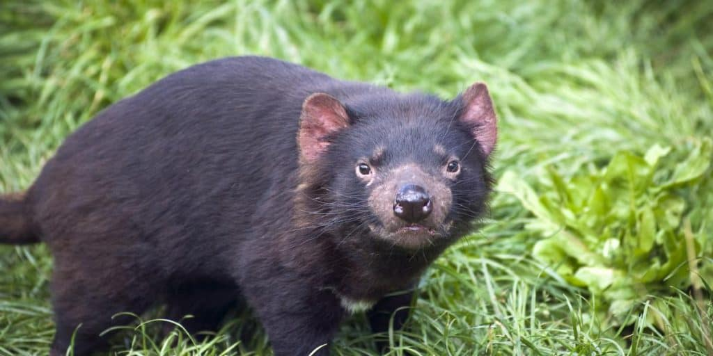 Cute but deadly Tasmanian Devil