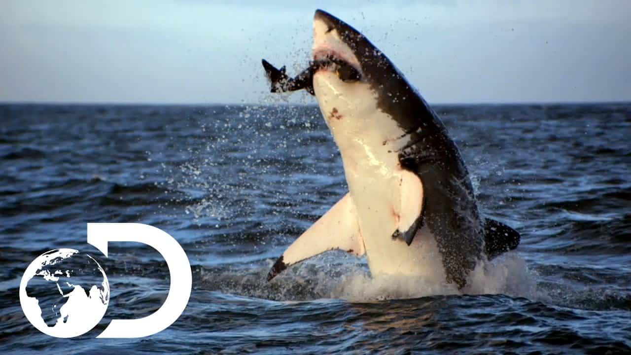 shark facts, facts about sharks, great white shark, hammerhead shark
