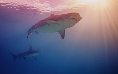 shark facts, facts about sharks, great white shark, hammerhead shark