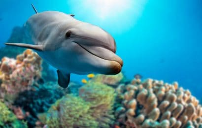 dolphin underwater, dolphin facts